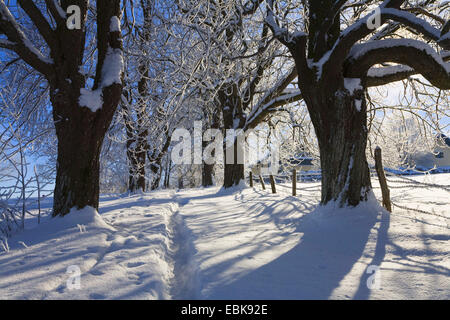 Alley in snow, winterscenery near Iffeldorf in morning light, Germany, Bavaria, Oberbayern, Upper Bavaria, Iffeldorf - Stock Photo