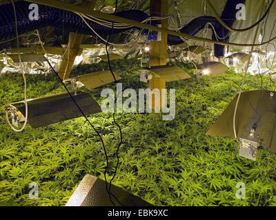 Indian hemp marijuana mary jane cannabis sativa for Cannabis plantation interieur