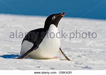 adelie penguin (Pygoscelis adeliae), lying in snow, Antarctica - Stock Photo