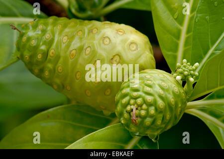 Indian Mulberry, Painkiller (Morinda citrifolia, Morinda bracteata), Close Up Image of a Noni Fruit in French Polynesia - Stock Photo