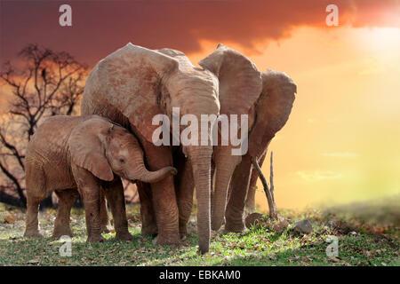 African elephant (Loxodonta africana), elephants with young animal in sunset, Kenya, Amboseli National Park