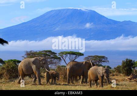 African elephant (Loxodonta africana), group in front of mount Kilimanjaro, Kenya, Amboseli National Park - Stock Photo