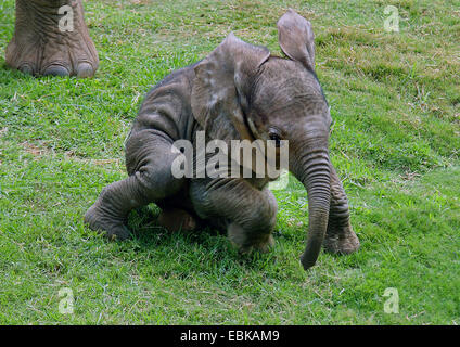 African elephant (Loxodonta africana), baby elephant in a meadow, Kenya, Amboseli National Park - Stock Photo
