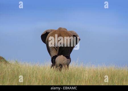 African elephant (Loxodonta africana), baby elephant running after the mother, Kenya, Amboseli National Park - Stock Photo