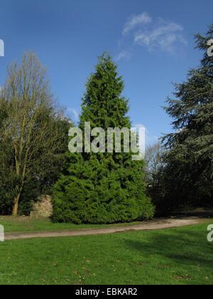 red cedar (Thuja plicata), tree in a park, Germany, North Rhine-Westphalia - Stock Photo