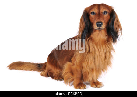Long-haired Dachshund, Long-haired sausage dog, domestic dog (Canis lupus f. familiaris), full-length portrait, - Stock Photo