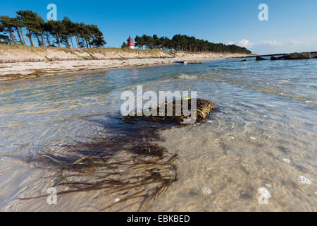 seaweeds in the Baltic Sea, lighthouse Gellen in the background, Germany, Mecklenburg-Western Pomerania, Hiddensee - Stock Photo