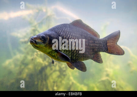 gibel carp, Prussian carp, German carp, Crucian carp (Carassius auratus gibelio), swimming in front of algae, Germany, - Stock Photo