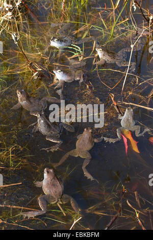 moor frog (Rana arvalis), some males sitting in a moor with spawn clumps, Germany - Stock Photo