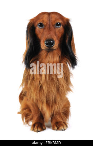 Long-haired Dachshund, Long-haired sausage dog, domestic dog (Canis lupus f. familiaris), full-lenght portrait, - Stock Photo
