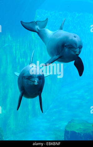 Bottlenosed dolphin, Common bottle-nosed dolphin (Tursiops truncatus), two dolphins swimming in dolphinarium - Stock Photo