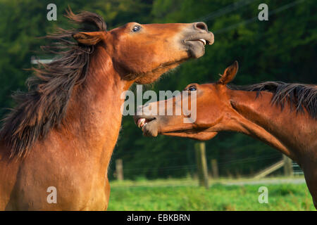 Horse (Equus przewalskii f. caballus), fighting stallion on paddock, Germany, North Rhine-Westphalia - Stock Photo
