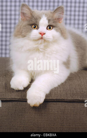 British Longhair, Highlander, Lowlander (Felis silvestris f. catus), portrait of a young tomcat - Stock Photo