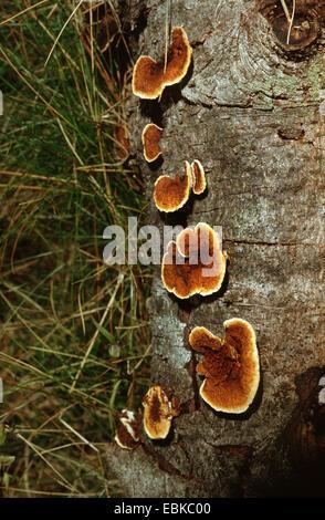 conifer mazegill (Gloeophyllum sepiarium), several fruiting bodies at tree trunk, Germany - Stock Photo