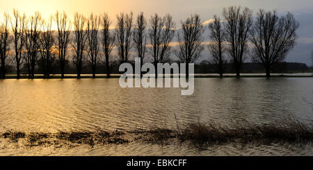 aspen, poplar (Populus spec.), row of trees in the high water of the Lippe flood plain, Germany, North Rhine-Westphalia - Stock Photo