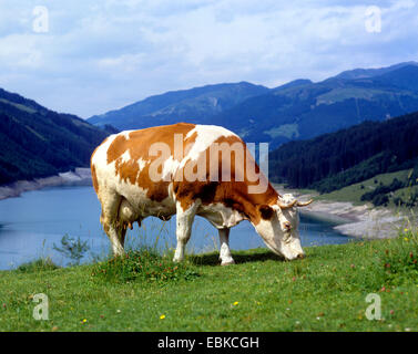 white and brown cow grazing on an alpine pasture, Austria - Stock Photo