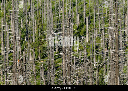 dead spruce forest at the Lusen, Germany, Bavaria, Bavarian Forest National Park - Stock Photo