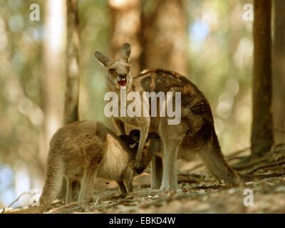 eastern gray kangaroo (Macropus giganteus), older pup suckling - Stock Photo