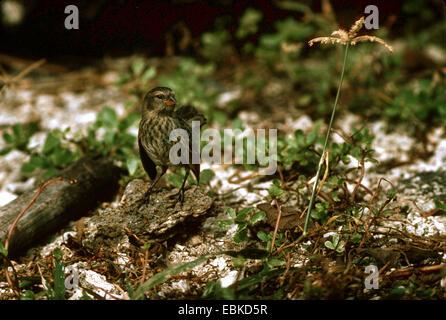 small ground finch (Geospiza fuliginosa), standing on the ground, Ecuador, Galapagos Islands - Stock Photo