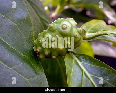 Indian Mulberry, Painkiller (Morinda citrifolia, Morinda bracteata), infructescence - Stock Photo