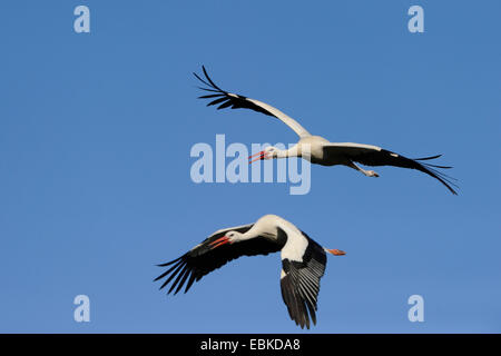 white stork (Ciconia ciconia), flying couple in front of blue sky, Germany - Stock Photo