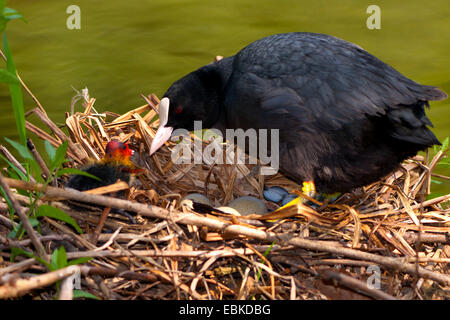 black coot (Fulica atra), with chicks and eggs in the nest, Switzerland, Sankt Gallen - Stock Photo
