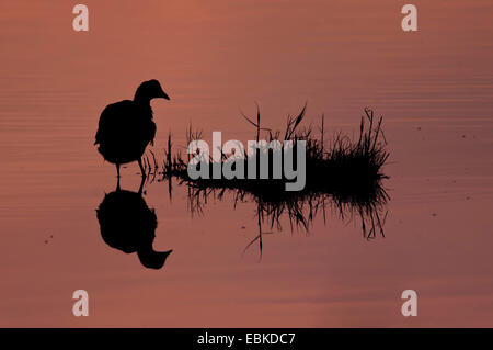 black coot (Fulica atra), in a pond at sunset, Netherlands, Texel - Stock Photo