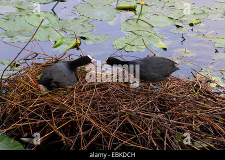 black coot (Fulica atra), couple building a nest, Germany - Stock Photo