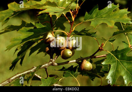 northern red oak (Quercus rubra), branch with acorns - Stock Photo
