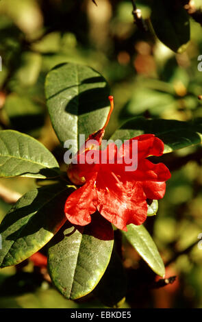 William's rhododendron (Rhododendron williamsianum), blooming branch - Stock Photo