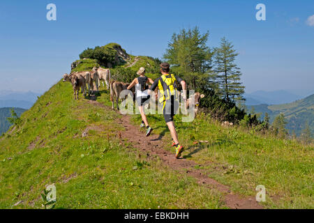 domestic cattle (Bos primigenius f. taurus), young couple trail running at the Dachstein Mountains on a mountain path which is blocked by a cattle herd, Austria, Styria, Dachstein