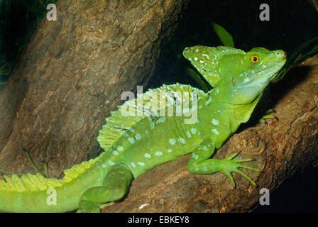 green basilisk, plumed basilisk, double-crested basilisk (Basiliscus plumifrons), sitting on a tree trunk - Stock Photo