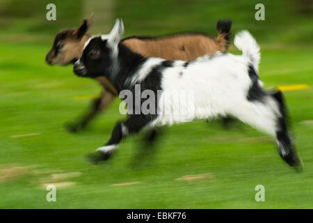 domestic goat (Capra hircus, Capra aegagrus f. hircus), two goatling running together in a meadow, Germany, North - Stock Photo