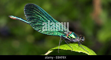 bluewing, demoiselle agrion (Calopteryx virgo), on a leaf, Germany - Stock Photo