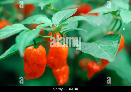 Red pepper, paprika (Capsicum chinense 'Habanero', Capsicum chinense Habanero), fruits of cultivar Habanero - Stock Photo
