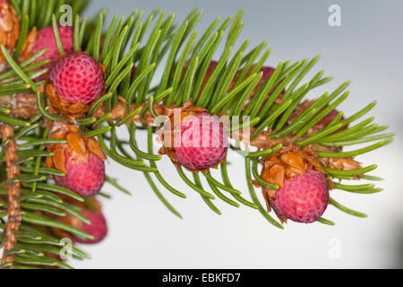 Norway spruce (Picea abies), branch with young cones, Germany - Stock Photo