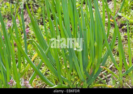 Garden onion, Bulb Onion, Common Onion (Allium cepa), plant in a garden - Stock Photo