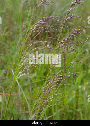 tufted hair-grass (Deschampsia cespitosa), panicles, Germany - Stock Photo