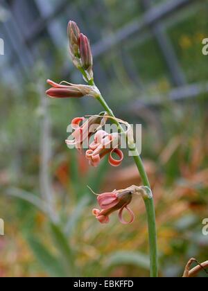 Brown Bluebell (Dipcadi serotinum, Ornithogalum serotinum), inflorescence - Stock Photo