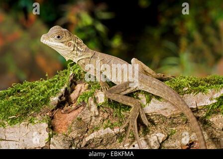 Weber's sail-fin lizard, Webers sail-fin dragon, green sail-fin dragon, soa soa (Hydrosaurus weberi), on mossy branch - Stock Photo