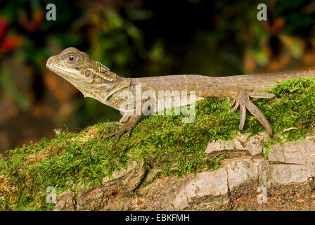 Weber's sail-fin lizard, Webers sail-fin dragon, green sail-fin dragon, soa soa (Hydrosaurus weberi), on a mossy - Stock Photo