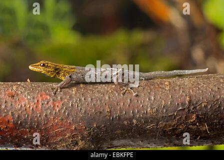 common dwarf gecko, Cape dwarf gecko (Lygodactylus capensis), on a branch - Stock Photo