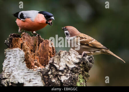bullfinch, Eurasian bullfinch, northern bullfinch (Pyrrhula pyrrhula), fighting with field sparrow, Germany, North - Stock Photo
