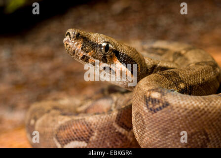 Red-tailed Boa (Boa constrictor constrictor), portrait - Stock Photo