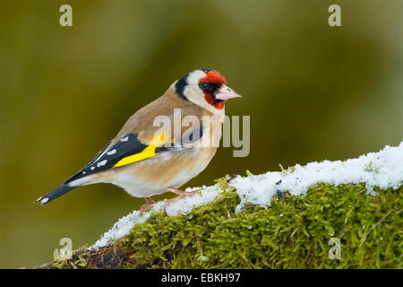 Eurasian goldfinch (Carduelis carduelis), sitting on snowy moss, Germany - Stock Photo