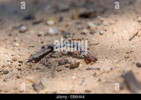 digger wasps, hunting wasps (Sphecidae, Sphegidae), pulling a caterpillar in a prey hiding-place, USA, Arizona, - Stock Photo