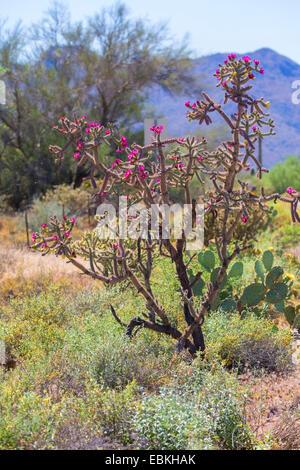 Buckhorn Cholla (Cylindropuntia acanthocarpa), blooming in Sonora desert, USA, Arizona, Phoenix - Stock Photo