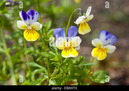 heart's ease, heartsease, wild pansy, three colored violet (Viola tricolor), flowers, Germany - Stock Photo