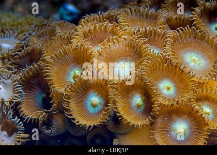 Sea Mat (Zoanthus spec.), top view - Stock Photo
