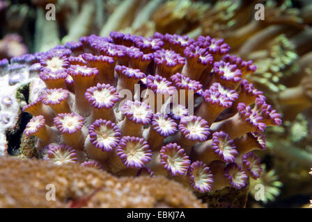 Flower Pot coral (Goniopora spec.), colonie - Stock Photo